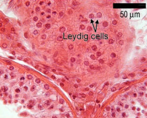 leydig cells create testosterone in the testes